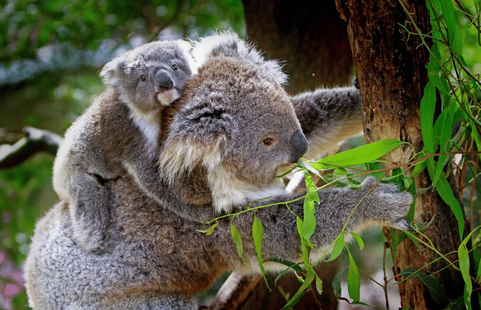 famille de koala dans un zoo